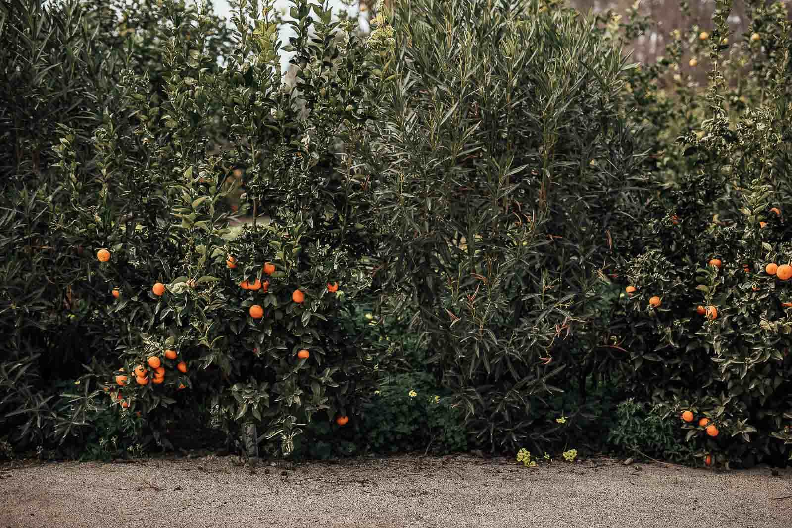 arboles naranjos naturaleza verde exterior